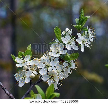 Flowering branch of cherry tree in the shady garden.