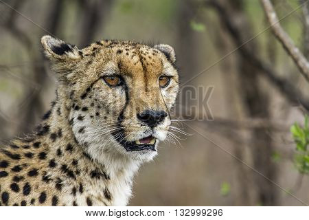 Specie Acinonyx jubatus family of felidaen portrait of a wild cheetah in the bush, Kruger Park