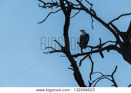 African Sea Eagle Perched In Dead Tree