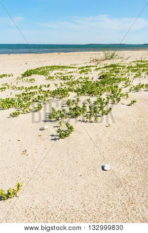 Baltic sea wild sandy beach with coastal grass. Selective focus on foreground background in blur.