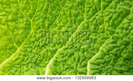 green Savoy Cabbage Leaf Texture Macro Background