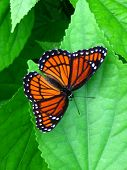 image of monarch butterfly  - monarch butterfly