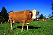 foto of stratus  - Cow in Tyrol low stratus in the background - JPG