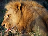 image of african lion  - lion eating taken in zimbabwe southern africa - JPG