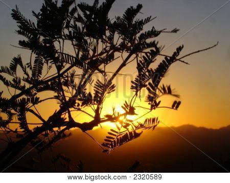 Paloverde In The Sun