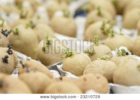 Potatoes Chitting.