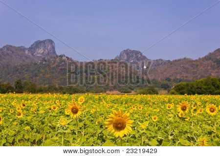 Field Of Sunflower With Mountains Background In Lopburi, Thailand