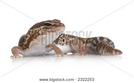African Fat-Tailed Gecko - Hemitheconyx Caudicinctus