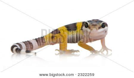 Juvenile Leopardgecko - Eublepharis Macularius