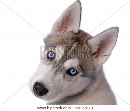 Puppy Dog Siberian Husky