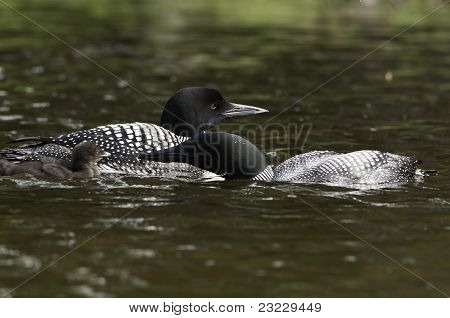 Loon Parent