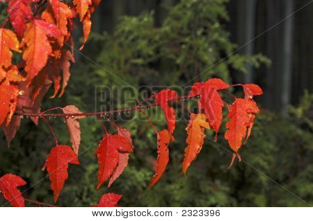 Bright Red Maples Leaves