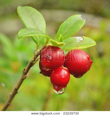 Cowberry.