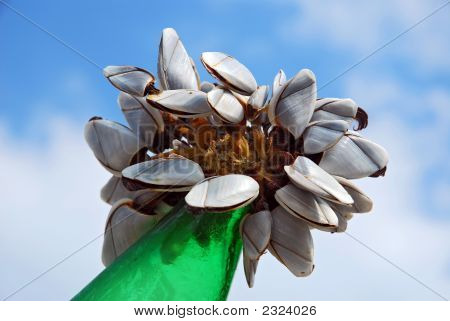 A Colony Of The Mussels On A Green Bottle In Normandy France