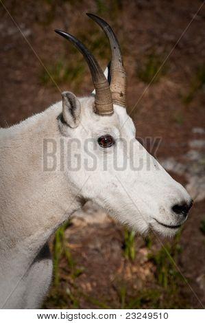 North Cascades Mountain Goat, Billy headshot