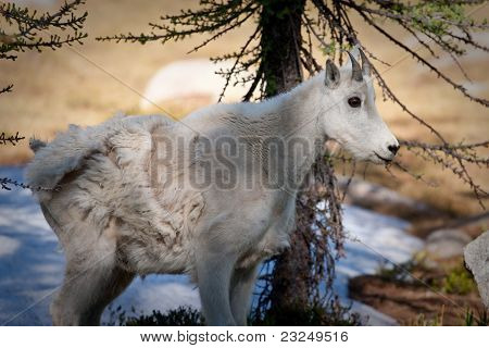 North Cascades Mountain Goat Kid
