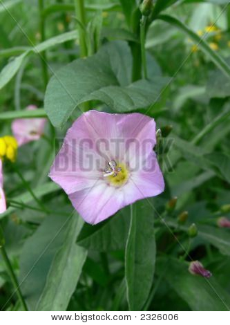 Bindweed Close-Up