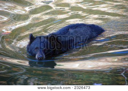 Balck Bear Swimming