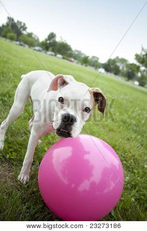 dog playing with pink ball