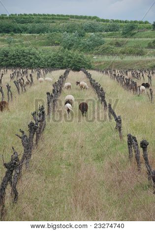 Sheep Amongst Derelict Grape Vines
