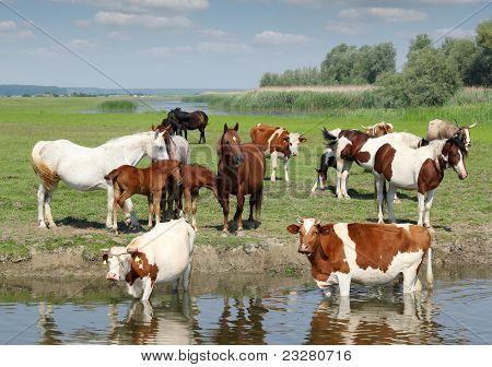 farm animals on river