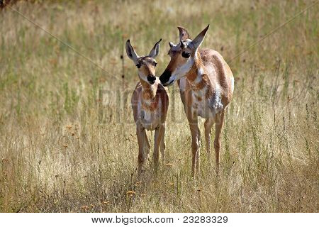 Two Pronghorns