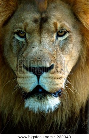 Animal Lion Portrait