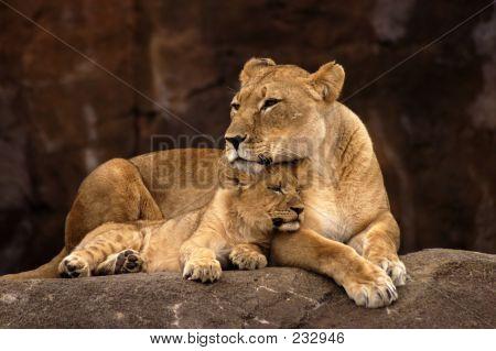 Animal Lion Cub