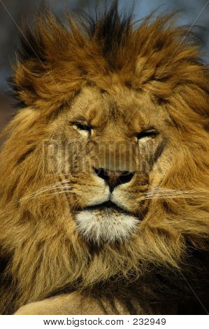 Animal Lion Closeup