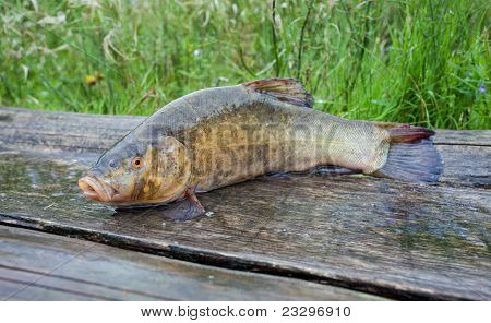 Tench. A Fish Close Up