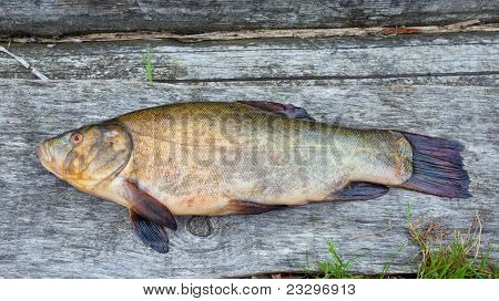 Tench. A Fish Close Up.