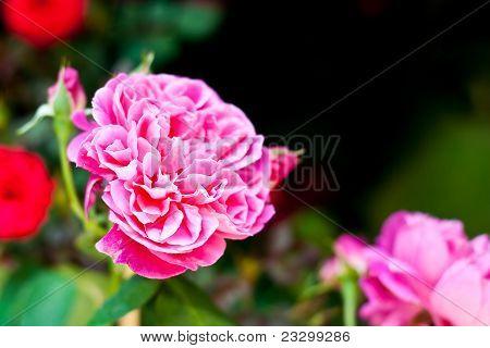 Close Up Rose