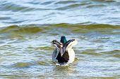 Image Of A Bird A Wild Drake Swims Along The River poster