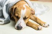 Lazy Or Sick Pet Dog Relaxing And Sleeping In Clean White Throw Blanket. Sleepy Staffordshire Terrie poster