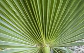 picture of washingtonia  - Detail of the texture of a leaf of palm - JPG