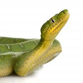 picture of green snake  - Emerald Tree Boa  - JPG