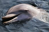 image of bottlenose dolphin  - Bottlenose dolphin or Tursiops truncatus swimming diving and playing - JPG