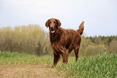 Brown Flat Coated Retriever Is Standing On A Green Field poster