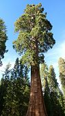foto of sequoia-trees  - Giant sequoia tree in Sequoia National Park - JPG