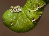 foto of hornworms  - Closeup of a Tobacco hornworm hanging down and chewing