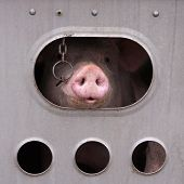 stock photo of slaughterhouse  - Pigs in a trailer ready to be transported to the slaughterhouse in Canada - JPG