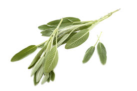 image of clary  - Two branch of salvia on white background - JPG