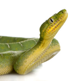 stock photo of green snake  - Emerald Tree Boa  - JPG