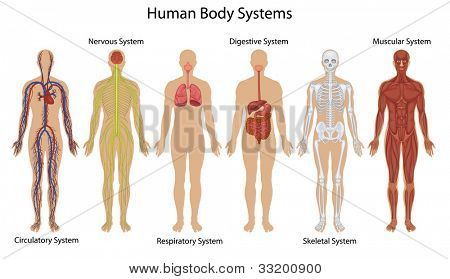 Illustration of the human body systems - EPS VECTOR format also available in my portfolio.