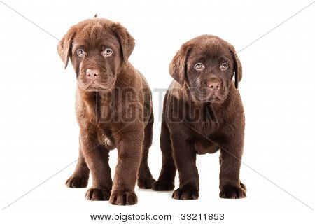 Two Chocolate Retriever Puppies On Isolated White