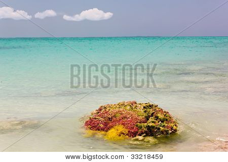Caribbean sea coral
