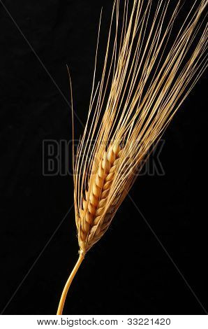 Ripe Wheat