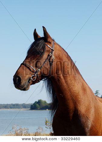 Andalusian Spanish Horse Head Shot