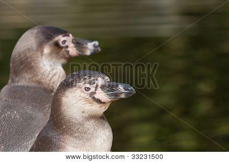 Humboldt Penguin Portrait