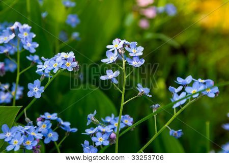 Blue forget-me-not flowers (Myosotis sylvatica).